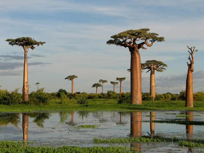 Le Baobab de Grandidier