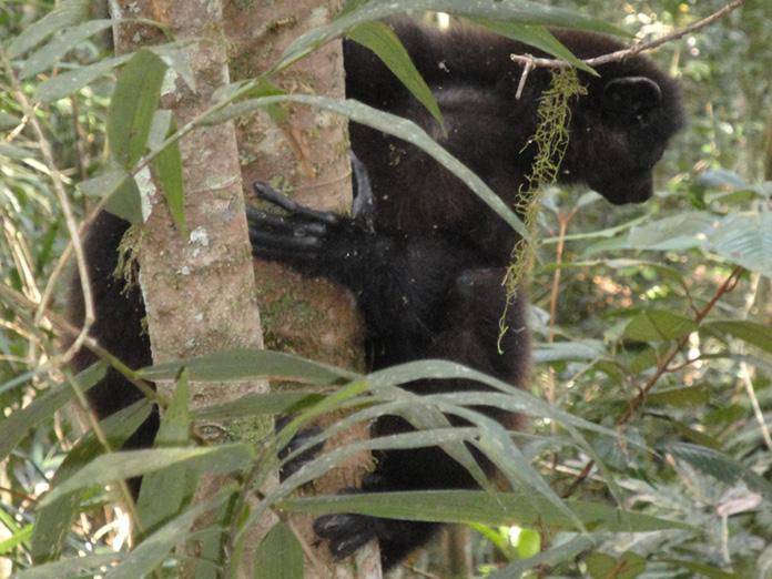 Lémuriens présents dans le Parc National Ranomafana